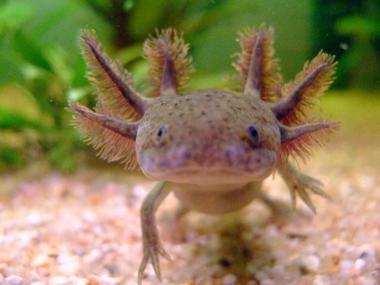 Axolotols