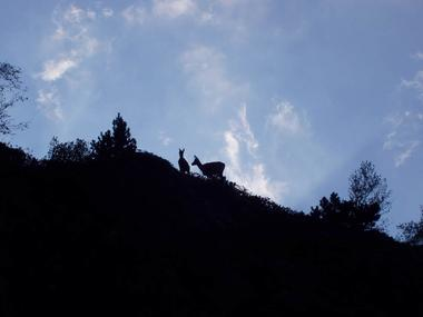 les isards dans la réserve d'Orlu