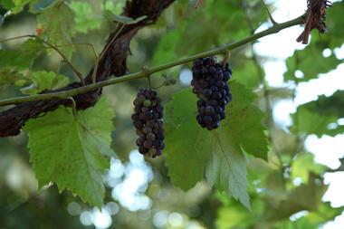 Clos du Beau Rosier - Huy - Raisins