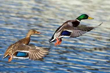 haute marne chasse canard.