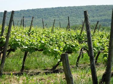 champagne 52 coiffy terroir domaine pelletier vignoble coiffy mdt52 02.