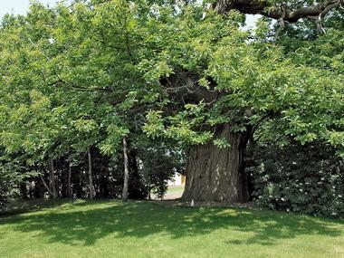 Chataignier du Pas aux Biches - Campénéac - arbre remarquable - Bretagne