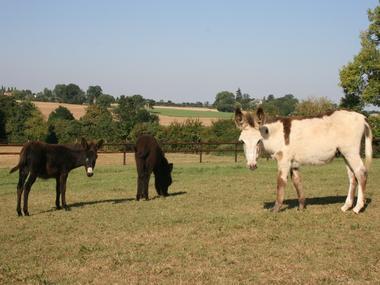 Equus Asinus Asinerie a Hieville prés de Lisieux Ânes dans le pré