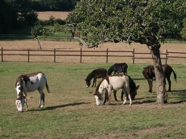 Equus Asinus Asinerie a Hieville prés de Lisieux Ânes sous le pommier