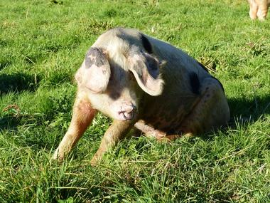Ferme d'Argentel Coquainvilliers prés de Lisieux Cochon de Bayeux