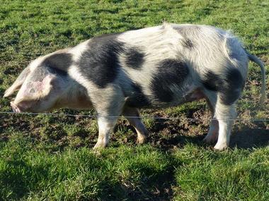 Ferme d'Argentel Coquainvilliers prés de Lisieux Porc de Bayeux