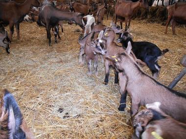 Ferme de la Biquetière à Tortisambert Chèvres dans la paille
