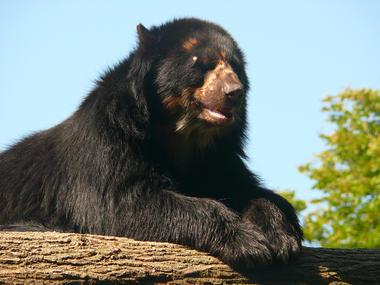 Ours au zoo de Cerza