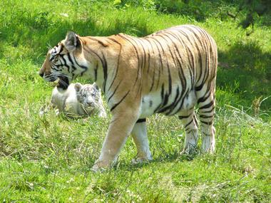 Tigres au zoo de Cerza