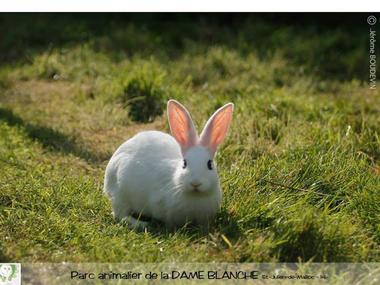 lapin-dame-blanche