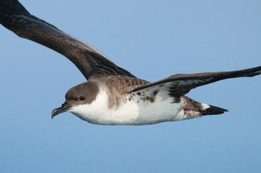 Faune Océan -  Puffin majeur en vol