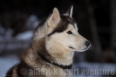 Iankee chien Amarok