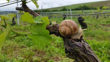Escargot vignes light