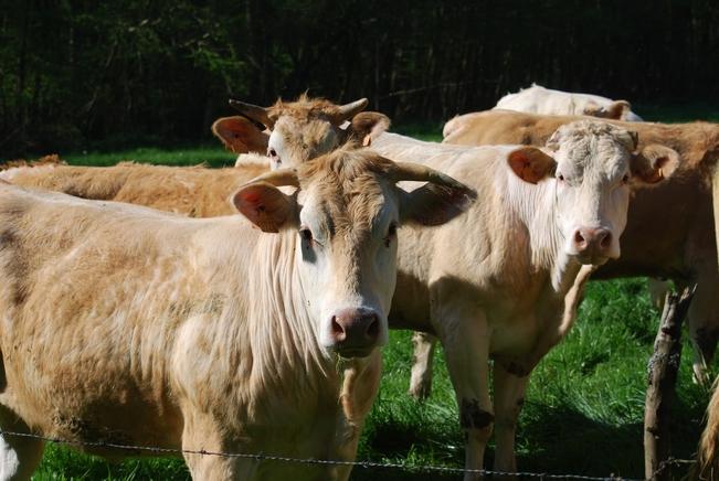 cows-2733122_1920.jpg