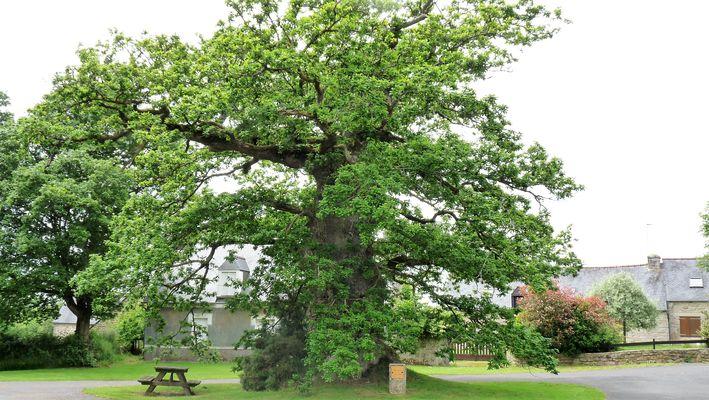Vieux chêne de Rosterc'h.JPG