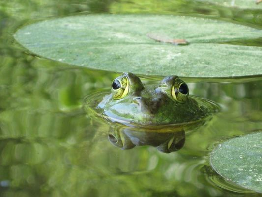 frog_pond_reflection_water_green_nature_waterlily_wet-775665.jpg!d.jpg