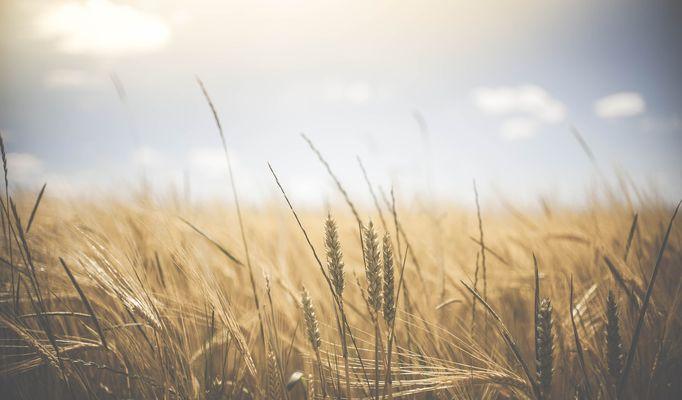 quand le vent est au blé.jpg