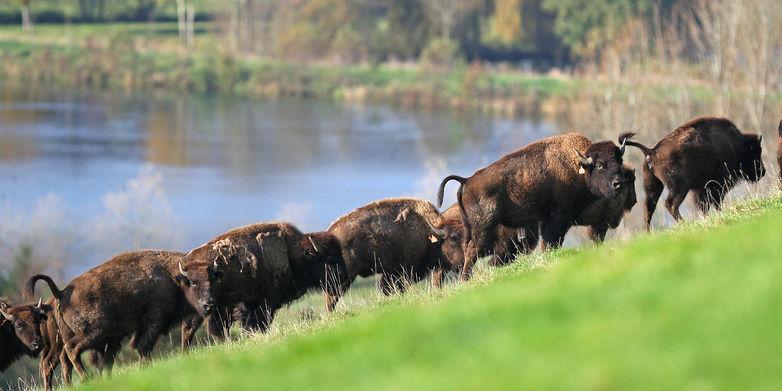 Reve-de-bisons-troupeau.jpg