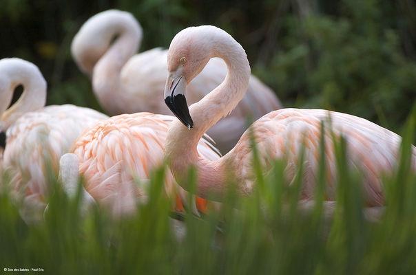 Flamant Chili_Zoo des Sables - Paul Eric.jpg