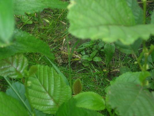 grenouilleverte (002).JPG