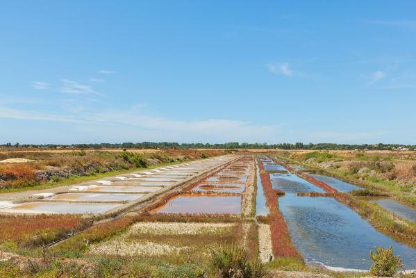 Marais île de Ré salicorne rouge.jpeg