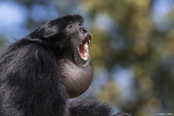 Gibbon siamang © Bioparc - P. Chabot.jpg