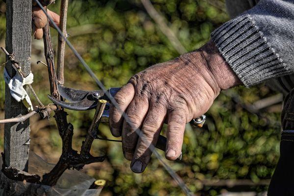 Taille de la vigne 2.jpg