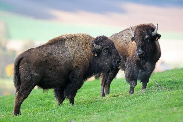 Reve-de-bisons.jpg