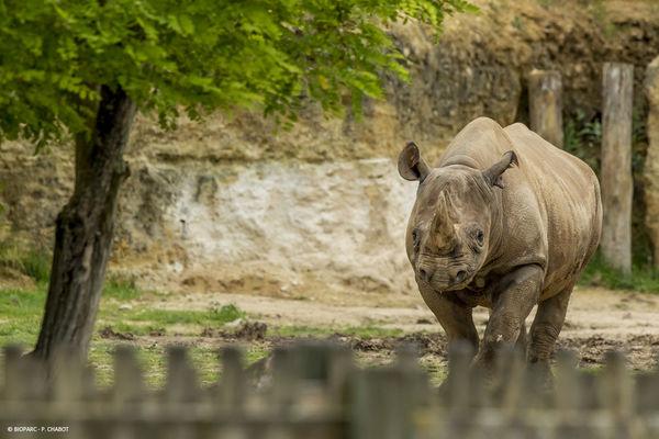Rhinocéros noir © Bioparc - P. Chabot.jpg