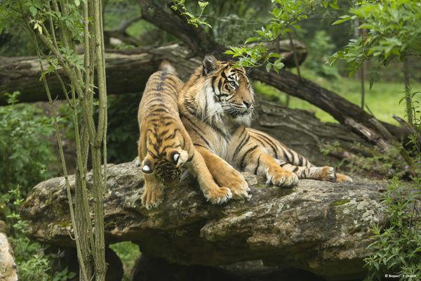 Tigre sumatra © Bioparc - P. Chabot.jpg