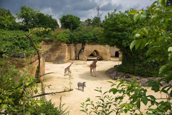 Camp des Girafes © Bioparc - L. Joffrion.jpg