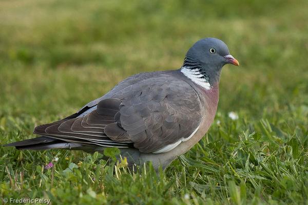 05.02.2020 pigeon ramier.jpg