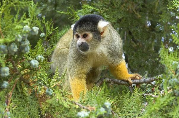 Saimiri_Zoo des Sables - Paul Eric.jpg