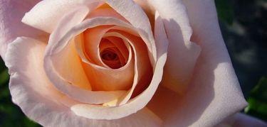 lili_rosa_rose_damour_2_3.jpg