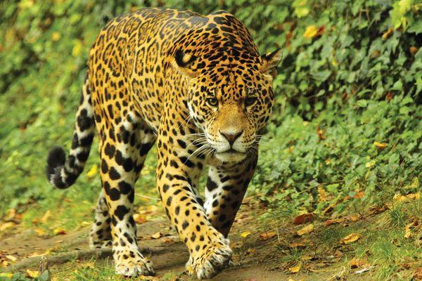 Jaguar_©ZooParc-de-Beauval.jpg
