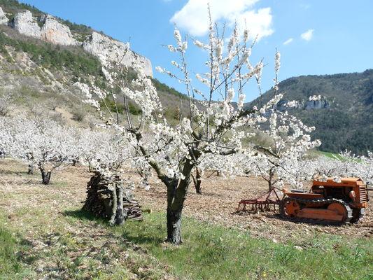 NATURE cerisiers 15.JPG