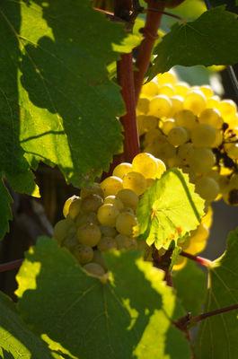 Le Chardonnay produit de Grands Vins Blancs_I&A.jpg