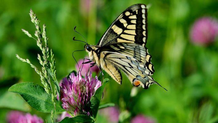 Papillon_PNRFO.jpg