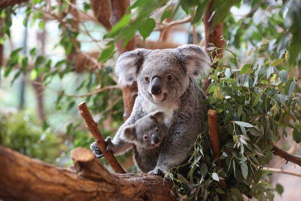 Koalas_©ZooParc-de-Beauval-(01).jpg