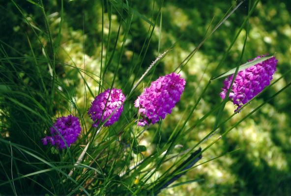 Orchidées 2.jpg
