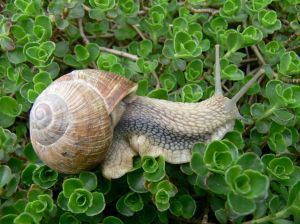 escargot-plante.jpg