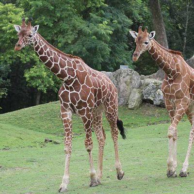 Girafes_ZooParc_de_Beauval.jpg