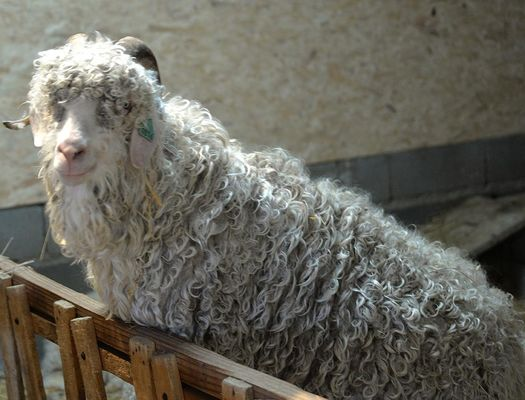 Chèvre Angora Mohair du Pays de Chambord