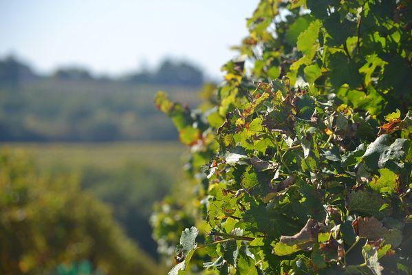 Vignoble Armagnac Gascogne dans le Gers