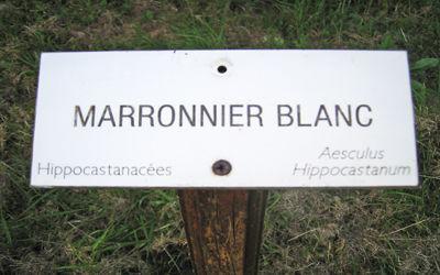 Arboretum_marronnier_blanc < Vervins < Aisne < Picardie