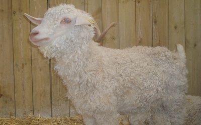 Ferme de Montfresnoy mouton < Charmes < Aisne < Picardie