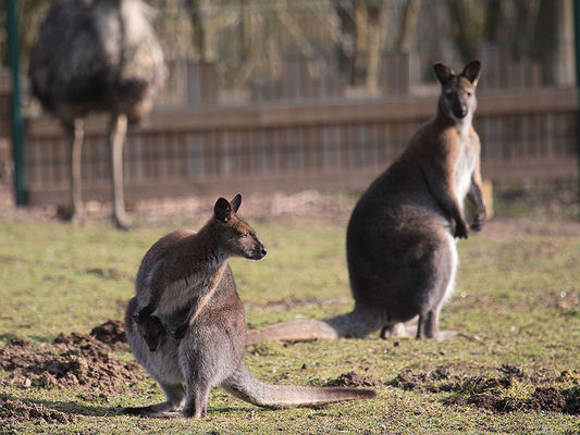 Les wallabies