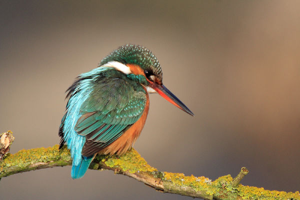 Le martin pêcheur
