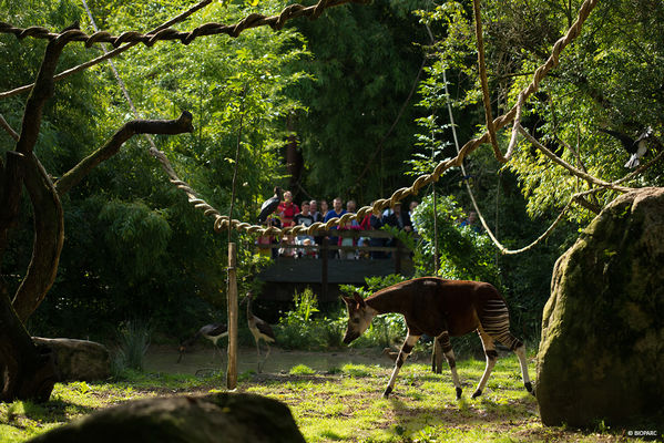 Okapi---Bioparc-2