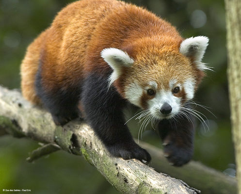 Panda-roux-Zoo-des-Sables---Paul-Eric